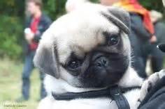 pug weenie puppies fawn black pug puppies black pug puppies black pug puppies