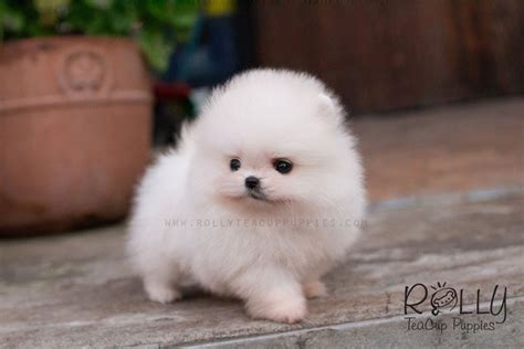 pomeranian shelter near me puppies available for adoption near me pets world