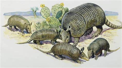 cute armadillos   give birth  quadruplets