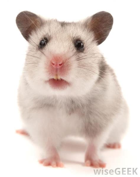 types hamster atol protected what is the difference between a guinea pig and a hamster