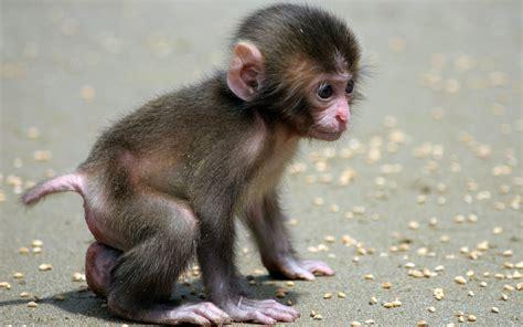 Wallpaper desktop monkey baby search animals cute