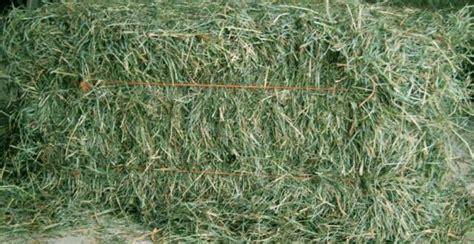 membuat hay  pakan ternak