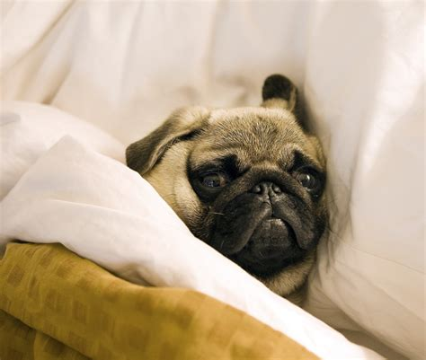 file pug lying in bed with its head on the pillow jpg