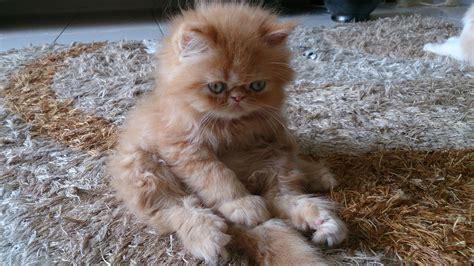 Suplemen Untuk Kucing sold anak kucing parsi untuk dijual bil 3 2014 kucing mykeledek