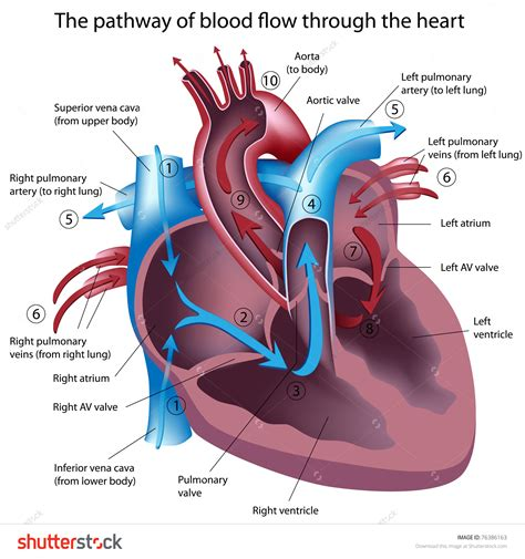 diagram of the and blood flow blood circulation diagram blood flow through the