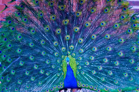 colorful peacock peacocks on hater