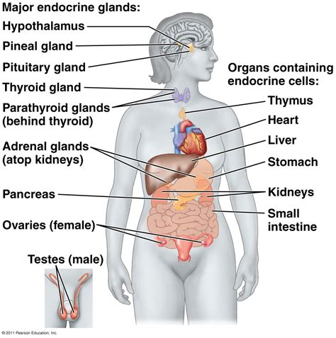 Gland For Airless 45 1 diagram of glands in the images