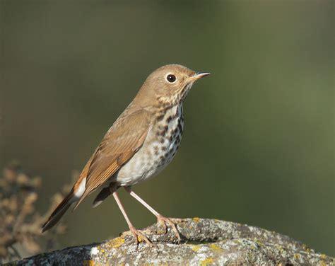Types Of Backyard Birds Hermitthrushp