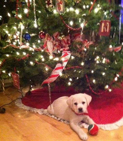 christmas puppies 10 photos thatmutt com a dog blog