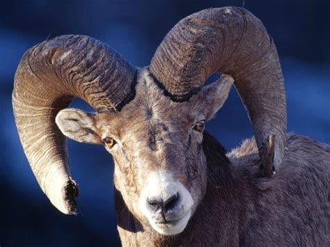 ram animal pictures ram animal meaning and symbolism spirit animals