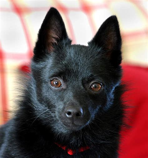 rottweiler with pointy ears schipperke hunde rassen information omlet