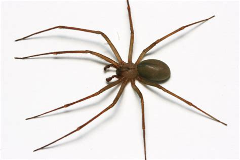 brown recluse image of brown recluse spiders insects in the city