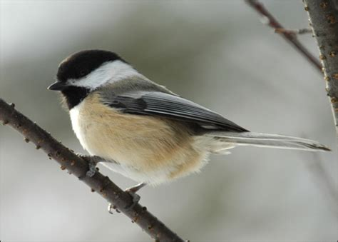 black capped chickadee poecile atricapillus 187 planet of