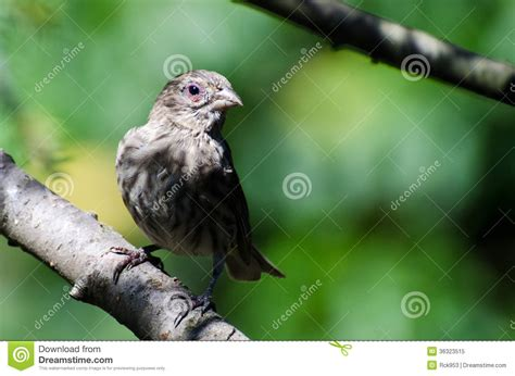 house finch conjunctivitis pin conjunctivitis images graphics comments and pictures