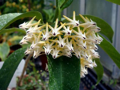 Japanese Garden Images by Hoya Multiflora Blume