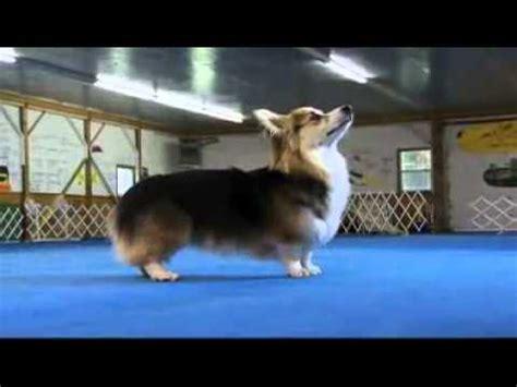 dogs 101 corgi world show 2016 corgi pembroke funnydog tv