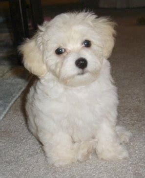 havanese eye problems havachon breed information and pictures