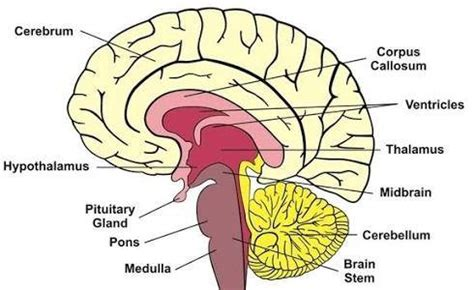 Sections Of The Brain And What They by What Are The Parts Of The Human Brain What Function