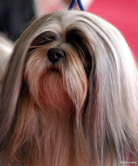 lhasa apso lhasa apso ra 231 as de cachorros