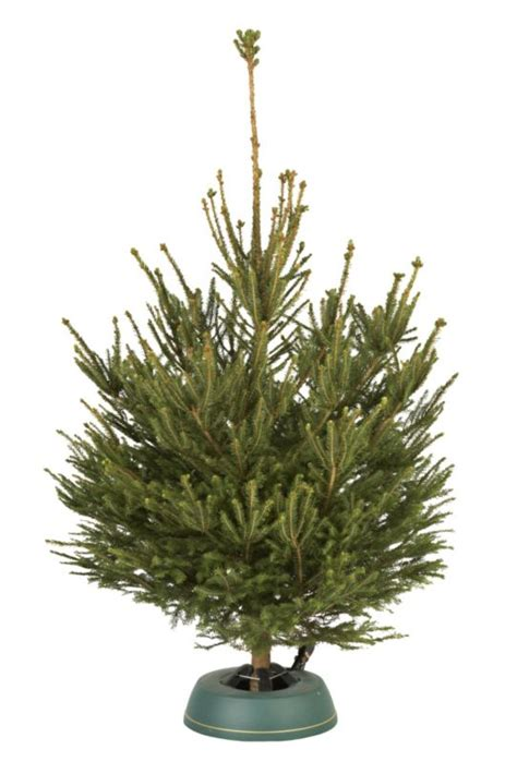 b q small cut norway spruce real christmas tree customer