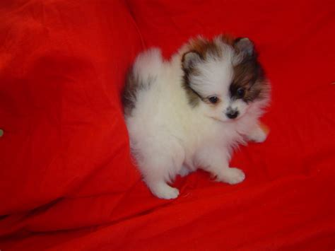 miniature pomeranian puppies forsale