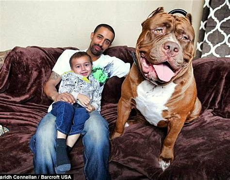 how to pitbull puppies to be guard dogs 175 pound pit bull may be world s