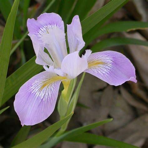 iris linguaggio dei fiori iris botanica significato fiori caratteristiche dell iris