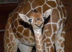 Dolphin Blind Birth Of The Baby Giraffe Lol Picture Collection