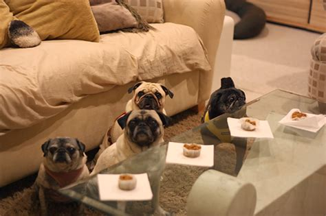 why do pugs eat their own the pug tags pugkin bread owned by pugs
