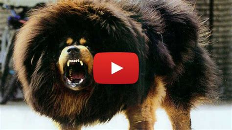 vicious breeds top most dangerous dogs in the world