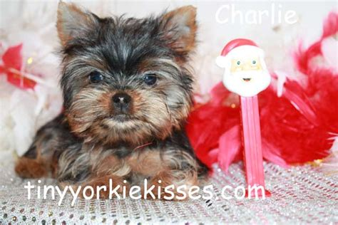 teacup yorkies for sale in bay area puppies for sale in california bay area 707 720 9042 sacramento dogs breeds picture
