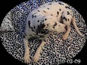 dalmatian puppies for sale in sc dalmatian puppies in south carolina