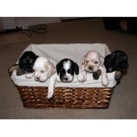 cocker spaniel puppies nc cocker spaniel puppies for sale in nc