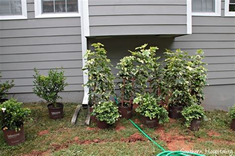 vines for trellis landscaping with southern living plant collection