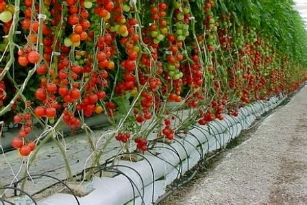 menanam tomat hidroponik  hasilnya bagus
