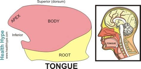 sections of the tongue tongue anatomy parts pictures diagram of human tongue