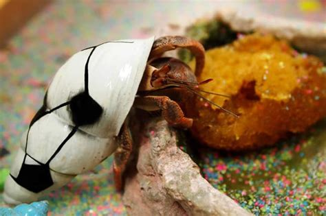 what do hermit crabs eat cuteness com