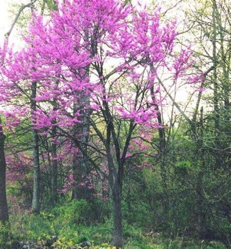the eastern redbud tree in bloom beauty in nature