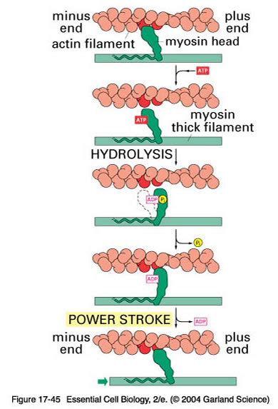 4 proteins involved in contraction muscles are the type of tissues that developed the