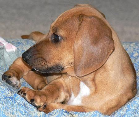 beagle dachshund mix puppies for sale savvee the beagle dachshund mix dachshund beagle mix s board