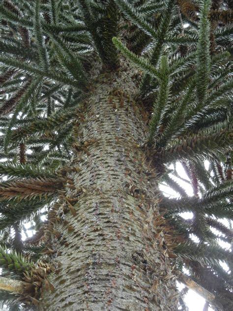 monkey puzzle tree fruit araucaria araucana conifers of ubc