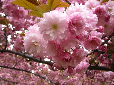 eight things you probably don t know about flowering cherry trees brooklyn botanic garden