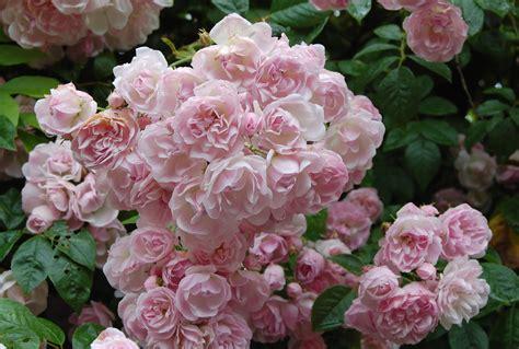 Fragrant Rose Plants - rose belvedere tilgate nature centre