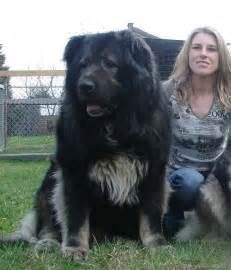 Big Caucasian Shepherd Dog