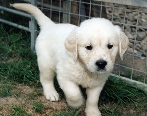 golden retriever puppies white golden retriever puppy running
