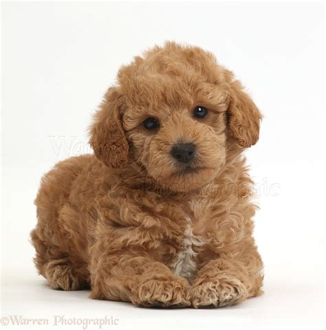 goldendoodle puppy toys f1b goldendoodle puppy photo wp42342