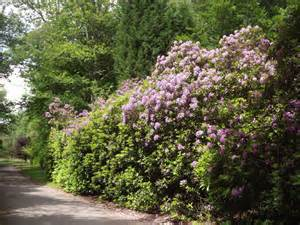 rhododendron hecke rhododendron hedge 169 colin smith cc by sa 2 0 geograph