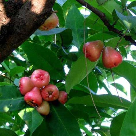 jambu fruit tree syzygium samarangense wax jambu wax apple tree plant