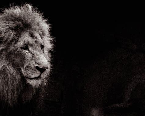 imagenes de leones tristes febrero 2011 mirados