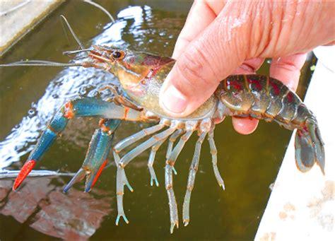 Benih Lobster Air Tawar Sabah hatcheri air tawar sinopsis penternakan udang kara air